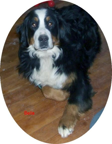 Bernese Mountain Dogs - Bella