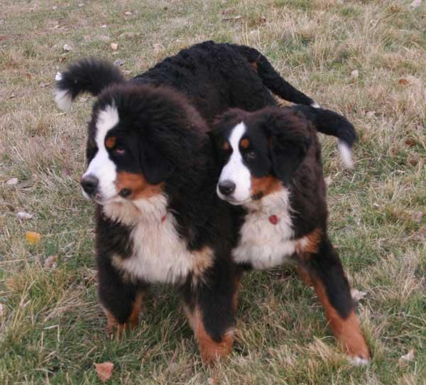 Bernese Mountain Dogs Serving Utah Montana Colorado Oregon